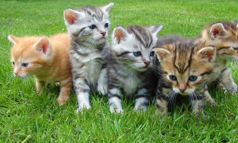 El cáncer de mama en gatos es el tercer tipo de cáncer en felinos