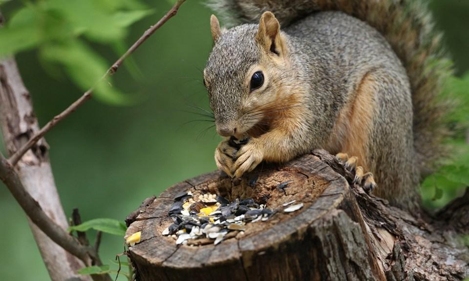 Hongos y setas, uno de los alimentos en la dieta de las ardillas