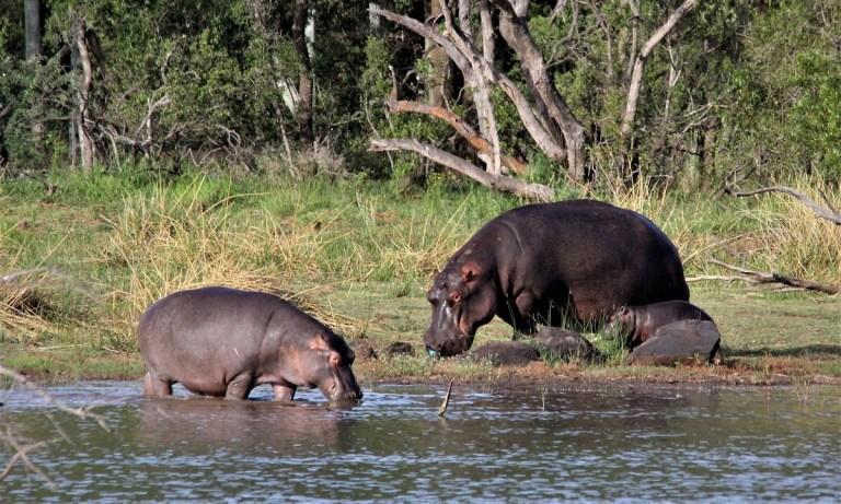 qué comen los hipopótamos
