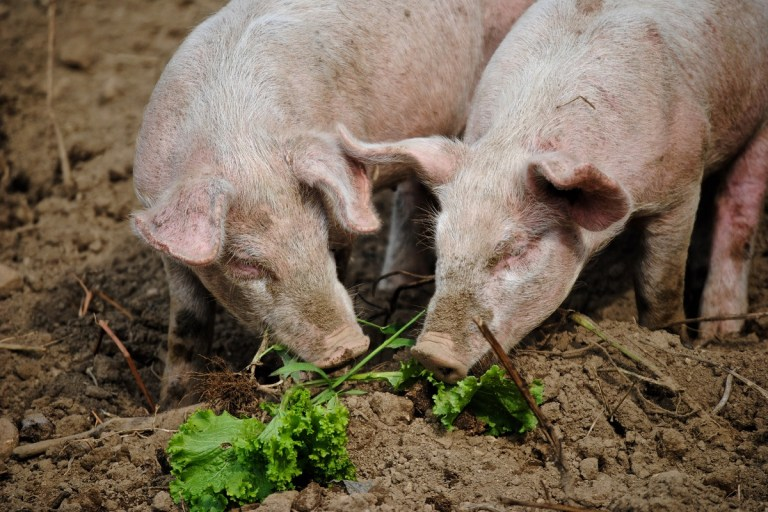qué comen los cerdos
