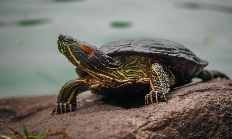 Tener una tortuga mascota representa un riesgo para la salud