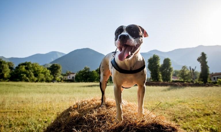 perro-american-staffordshire-bull-terrier