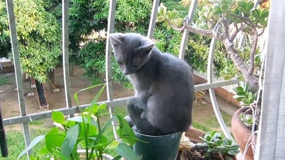 gato azul ruso bebé