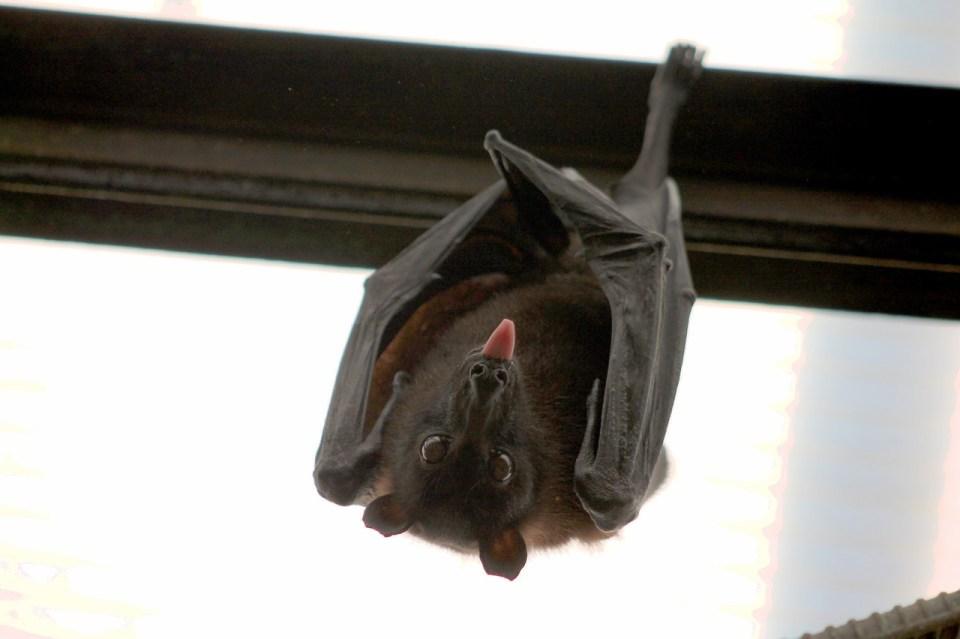 descubre qué comen los murciélagos