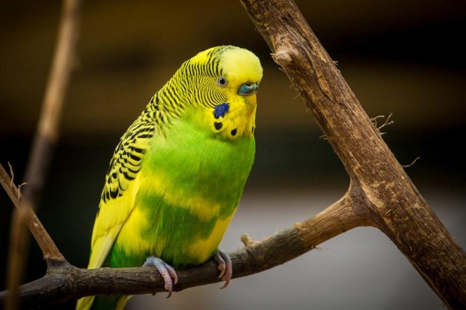 hábitat periquito