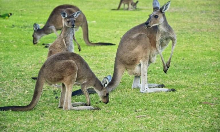 qué comen los canguros
