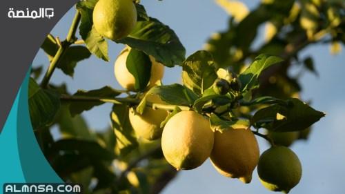 تفسير قطف الليمون الاخضر في المنام