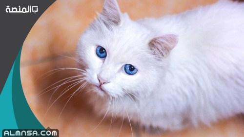 اسماء قطط اناث ومعانيها 2021