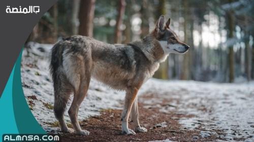 تفسير حلم الذئب في المنام للامام الصادق