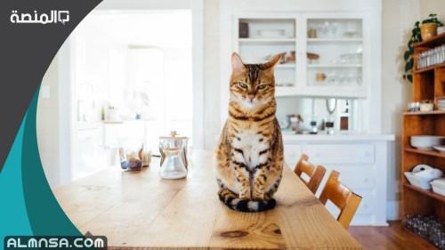اسماء قطط فرنسية ذكور 2021 ومعانيها