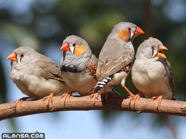 انواع العصافير واسمائها بالصور
