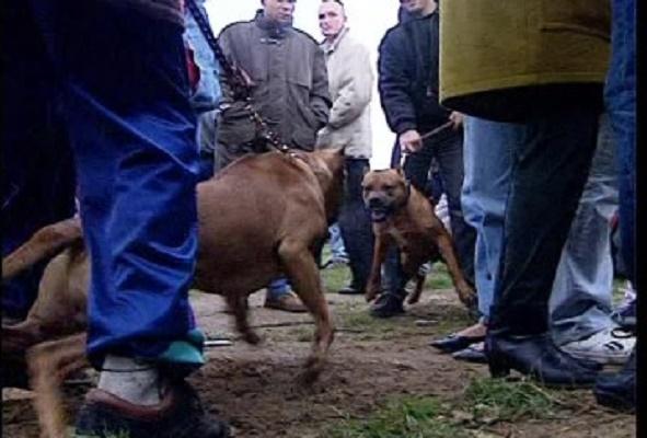 Avalan cárcel por peleas de perros; hasta cinco años