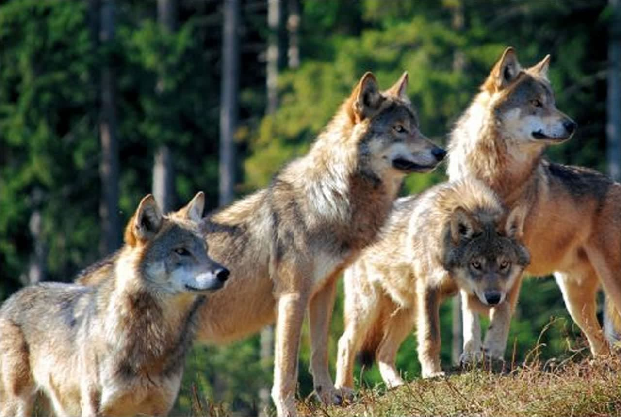 The wolf and the wolf pack: a perfect mechanism of social organisation