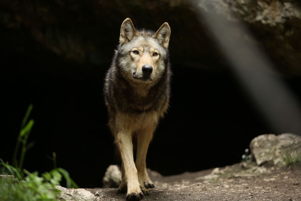 De Just Freedom à The Promise : le loup dans le monde d'Almo Nature