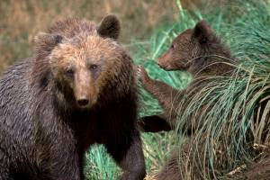 Farmers&Predators:  From the Alps to the Sierra Nevada: Bears in the Pyrenees