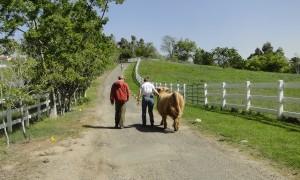 Becky the highland heifer in CA