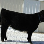 Heartland Highland Cattle Spring Sale 2018