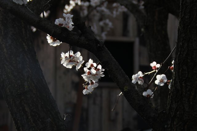 Apricot Blossoms - Almost Bananas