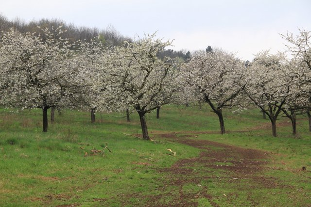 Cherry trees in blossom - Almost Bananas