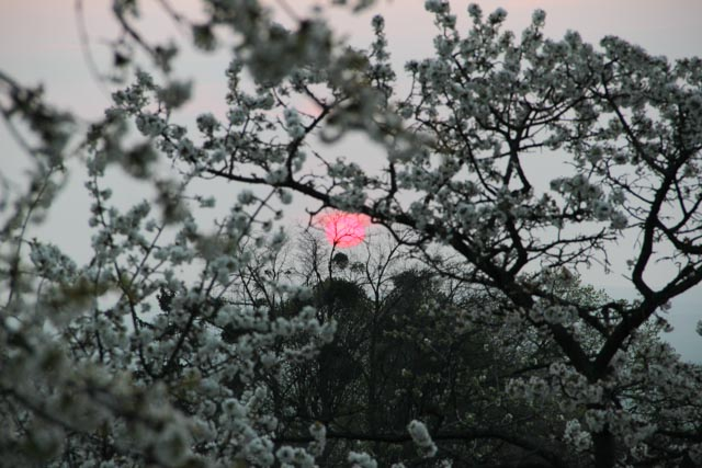 Rising sun through cherry blossoms