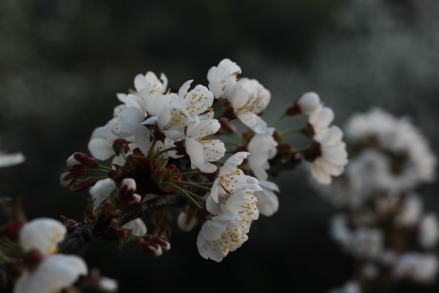 cherry blossoms upclose