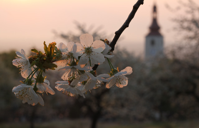 cherry blossom and church steeple