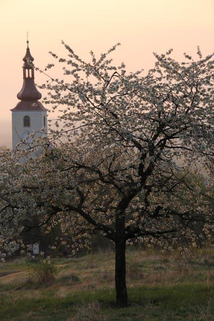 cherry tree and church steeple