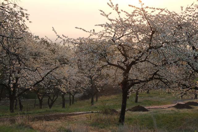 sunrise in a cherry orchard