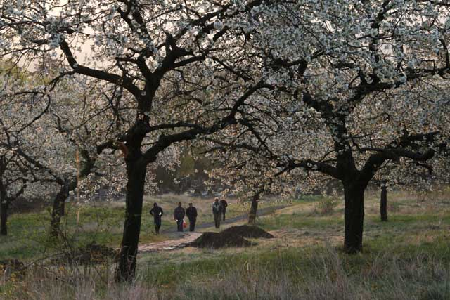 Workers coming to work in a feral cherry orchard