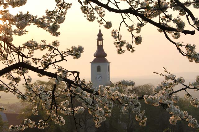 Cherry blossoms surrounding church steeple