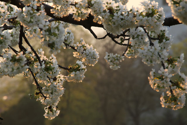 cherry blossoms in the sunrise