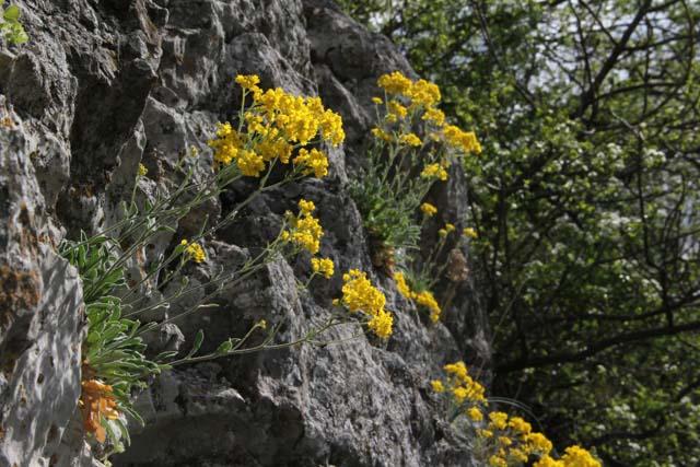Yellow rock flower