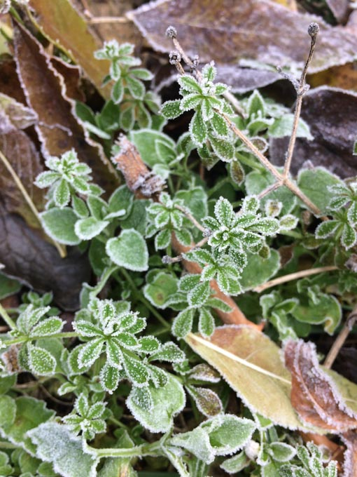 small leaves in frost