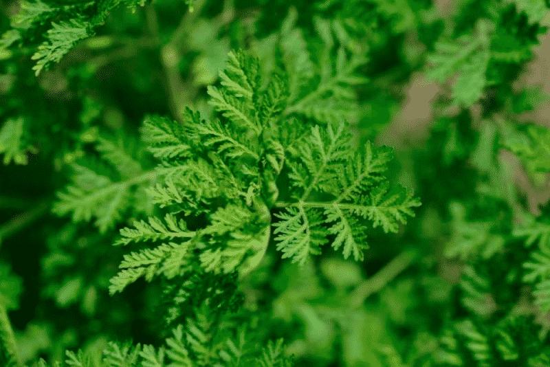 6 معلومات عن نبات الشيح بعد الموافقة عليه لعلاج كوفيد-19