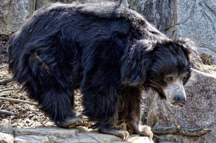 The Sloth Bear of Mysore