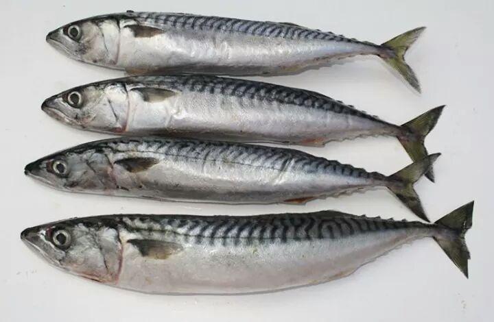 اسماء و انواع سمك الماكريل والفوائد الصحية من تناولة المرسال