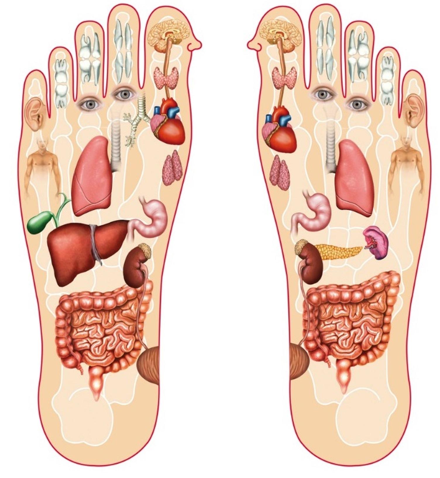مواضع اعضاء الجسم في القدم