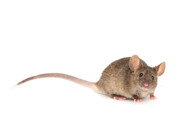 bigstock-Mouse-isolated-on-white-cute--45384634
