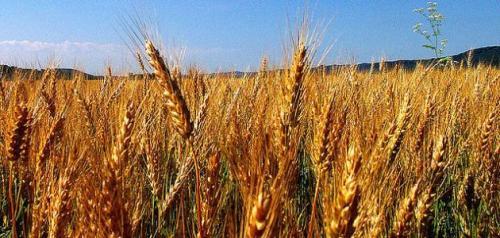 تفسير حلم سنابل القمح في المنام