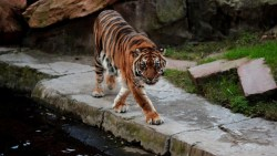 تفسير حلم الخوف من النمر في المنام