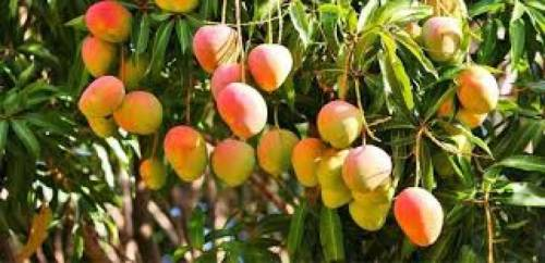 تفسير حلم شجرة المانجو في المنام