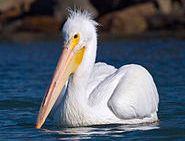 تفسير حلم رؤية البجعه البيضاء في المنام