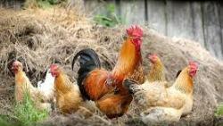 تفسير حلم ذبح الدجاج في المنام