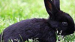 تفسير حلم رؤية الأرنب الأسود في المنام