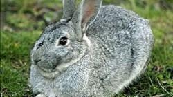 تفسير حلم الأرنب الرمادي في المنام