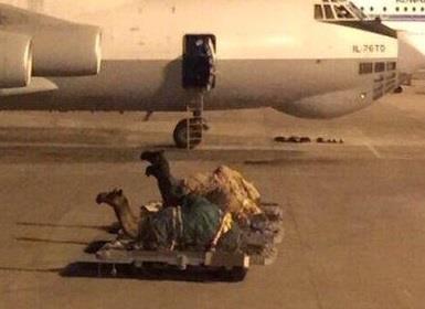 إماراتي ينقل جِمال بطائرة خاصة للكويت