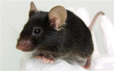 فأر فئران