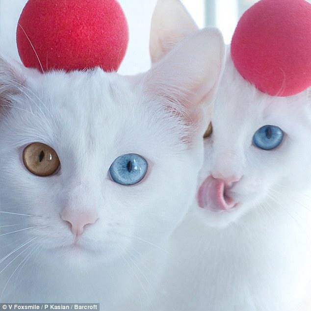 قطتان تشعلان إنستجرام بسبب حالة وراثية نادرة - قطة - قطط1