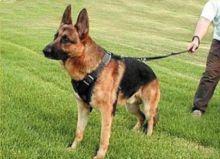 حواسها التي تتمتع بها فوق العادة: الكلاب البوليسية .. طابور استعراف