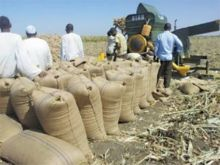 بدء عملية حصاد الذرة بمشروع الجزيرة